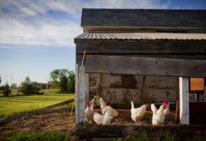 start a poultry farm in Dubai-shuraa Business Consultants